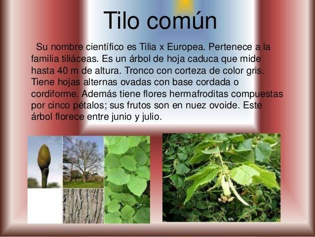 Plantas medicinales for Diferencia entre arboles de hoja caduca y hoja perenne