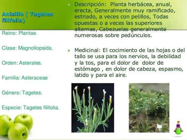 Anisillo ( Tagetes  filifolia)   Descripción: Planta herbácea, anual,  erecta, Generalmente muy ramificado,  estriado, a ...