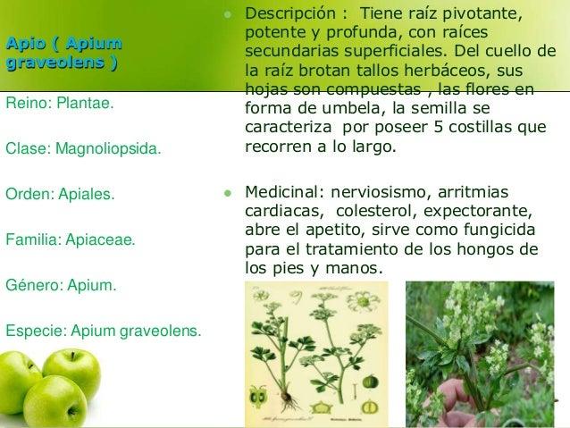Apio ( Apium  graveolens )   Descripción : Tiene raíz pivotante,  potente y profunda, con raíces  secundarias superficial...