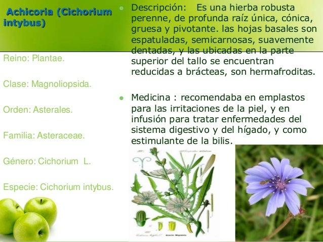 Achicoria (Cichorium  intybus)   Descripción: Es una hierba robusta  perenne, de profunda raíz única, cónica,  gruesa y p...