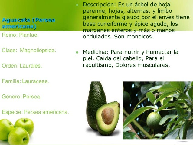 Aguacate (Persea  americana)   Descripción: Es un árbol de hoja  perenne, hojas, alternas, y limbo  generalmente glauco p...