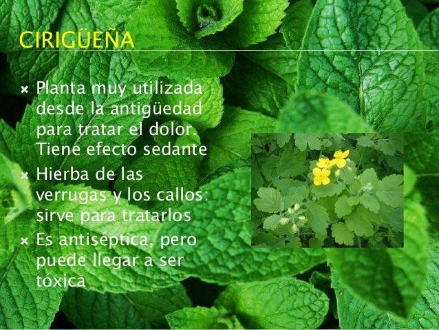 Plantas medicinales tradicionales for Para q sirven las plantas ornamentales