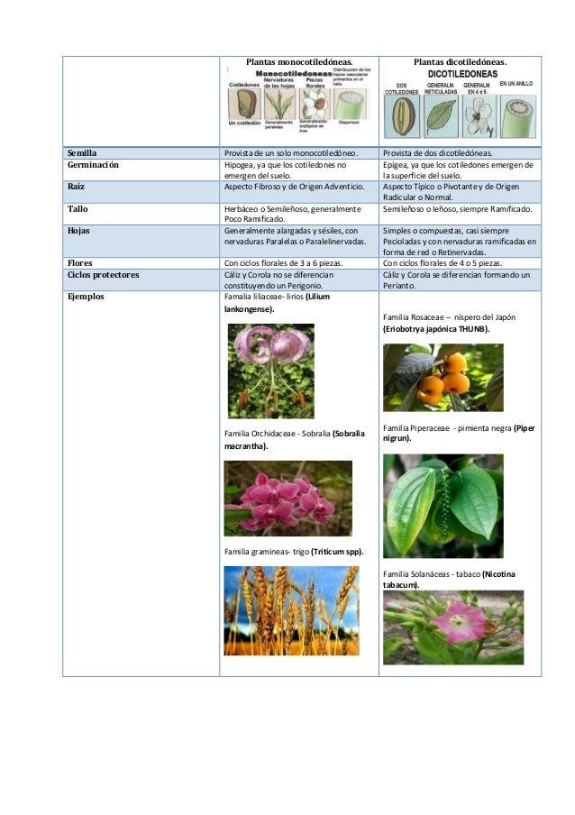 Plantas monocotiledóneas. Plantas dicotiledóneas. Semilla Provista de un solo monocotiledóneo. Provista de dos dicotiledón...