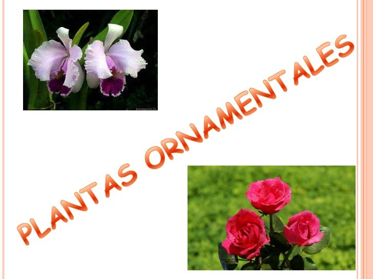 Plantas ornamentales for Cuales son las plantas decorativas