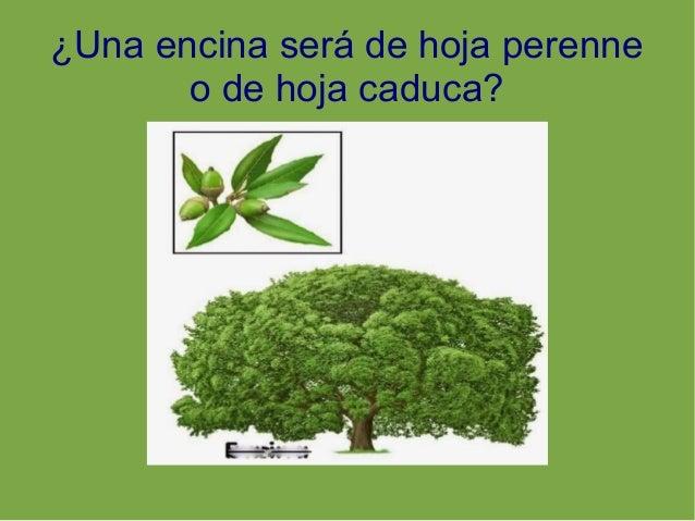 Plantas rboles hoja caduca y perenne for Arboles de hoja caduca y perenne nombres