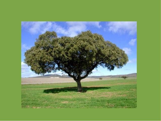 Plantas rboles hoja caduca y perenne for Arboles de jardin de hoja perenne
