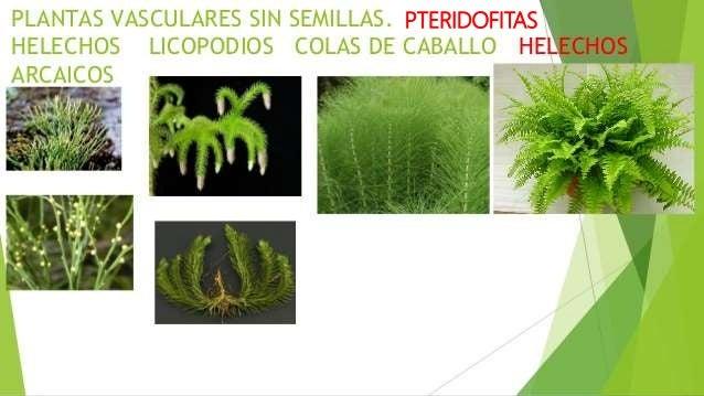 Plantas sin semilla for Plantas sin semillas