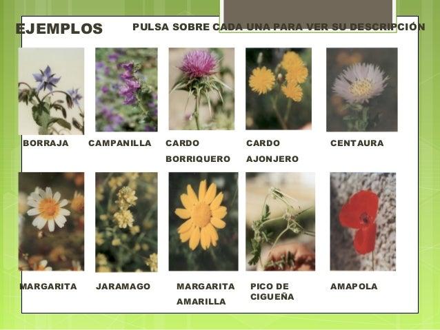 Plantas superiores biolog a for Plantas ornamentales ejemplos y nombres
