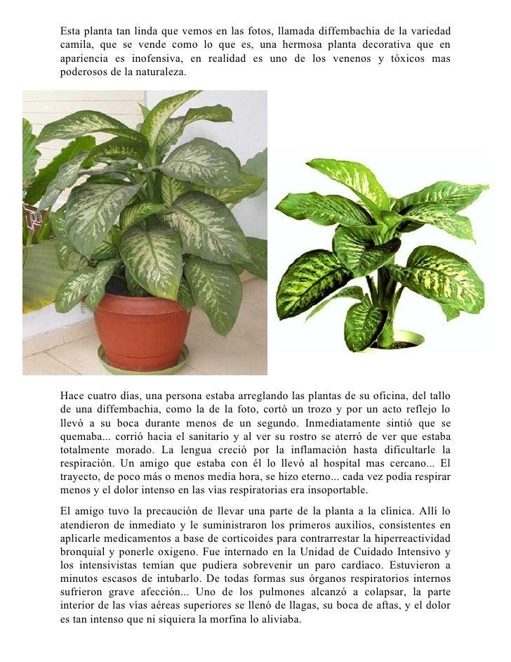 Esta planta tan linda que vemos en las fotos, llamada diffembachia de la variedad camila, que se vende como lo que es, una...