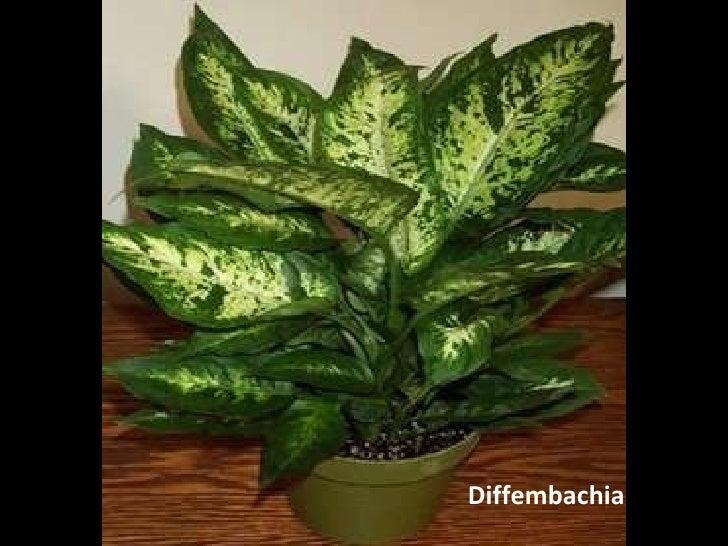 Planta venenosa cmp for Planta venenosa decorativa