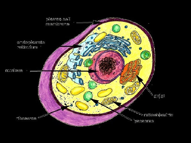 Plant cellpptnal plant cell animal cell ccuart