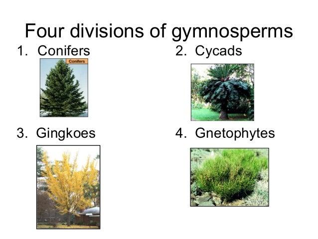 Plant Divisions Gymnosperms And Angiosperms