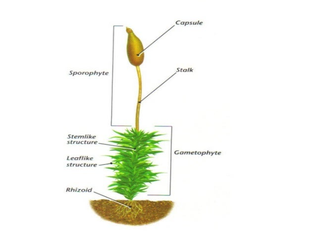 Plant Divisions Mosses And Ferns on Plant Life Cycle Sporophyte