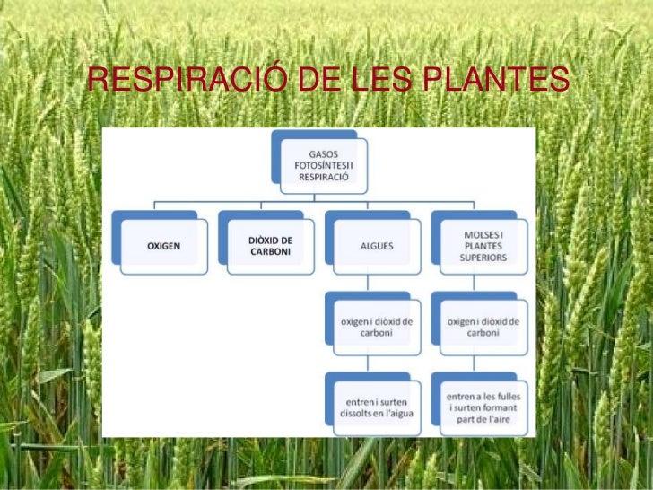 RESPIRACIÓ DE LES PLANTES<br />