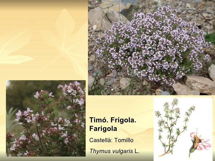 Plantes aromatiques pauls for Plantes aromatiques