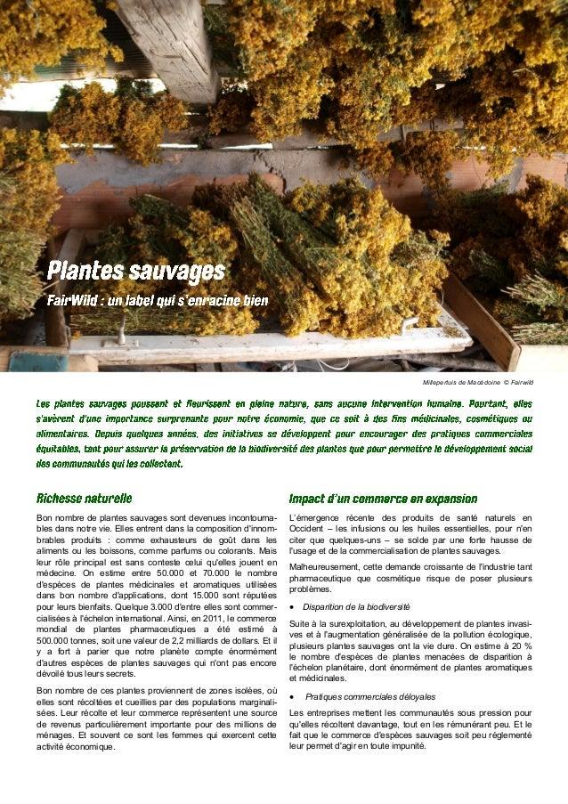 Millepertuis de Macédoine © Fairwild Bon nombre de plantes sauvages sont devenues incontourna- bles dans notre vie. Elles ...