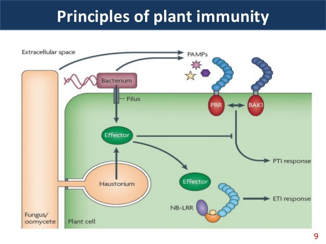 plants immune systems Plant innate immunity plants, unlike mammals, lack mobile defender cells and adaptive immune systems instead, they rely on the innate immunity of each cell, systemic peptide and chemical signals emanating from infection sites, and preformed and inducible chemical defenses at infection sites to ward off invading pathogens (1.
