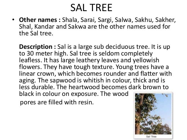 sal tree uses