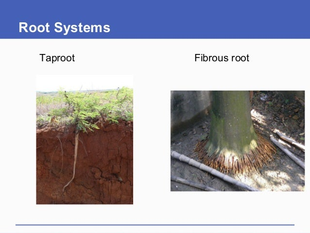Root Systems Taproot Fibrous root