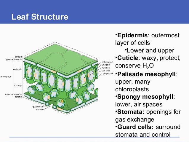 Leaf Structure •Epidermis: outermost layer of cells •Lower and upper •Cuticle: waxy, protect, conserve H2O •Palisade mesop...
