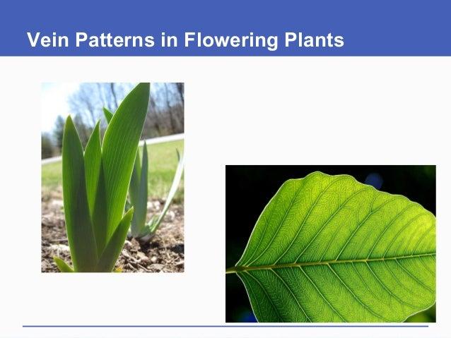 Vein Patterns in Flowering Plants