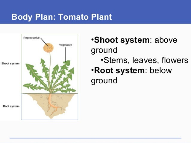 Body Plan: Tomato Plant •Shoot system: above ground •Stems, leaves, flowers •Root system: below ground