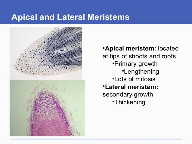 Apical and Lateral Meristems •Apical meristem: located at tips of shoots and roots •Primary growth •Lengthening •Lots of m...