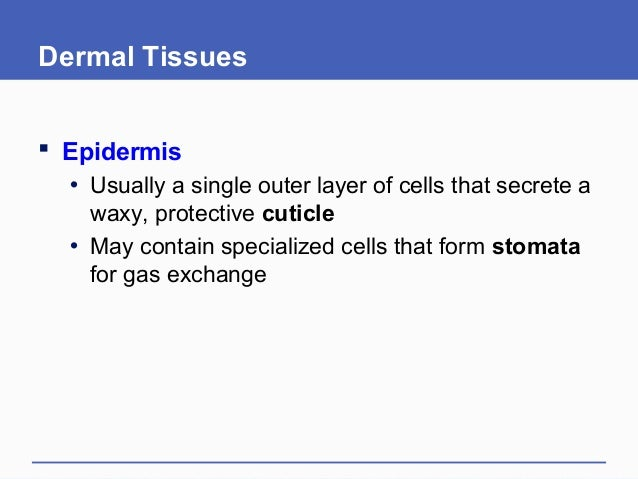 Dermal Tissues  Epidermis • Usually a single outer layer of cells that secrete a waxy, protective cuticle • May contain s...