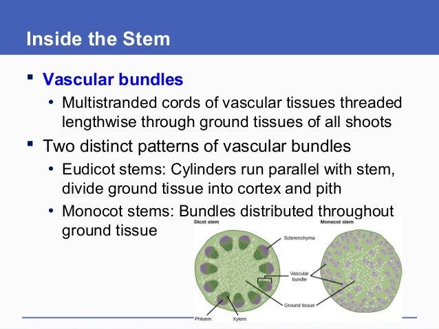 Inside the Stem  Vascular bundles • Multistranded cords of vascular tissues threaded lengthwise through ground tissues of...