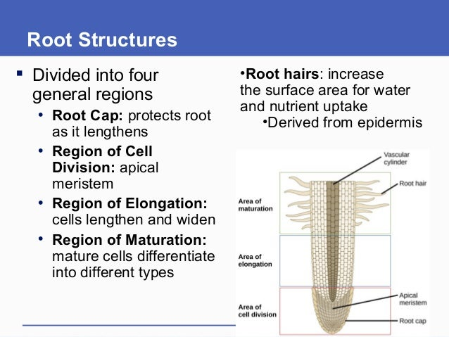 Root Structures  Divided into four general regions • Root Cap: protects root as it lengthens • Region of Cell Division: a...