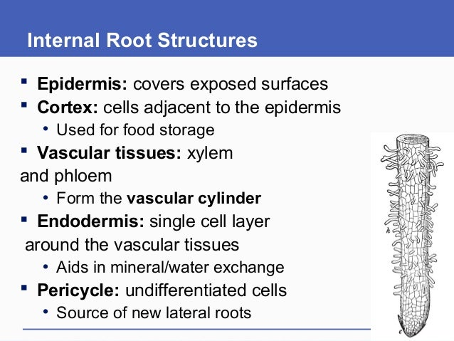 Internal Root Structures  Epidermis: covers exposed surfaces  Cortex: cells adjacent to the epidermis • Used for food st...
