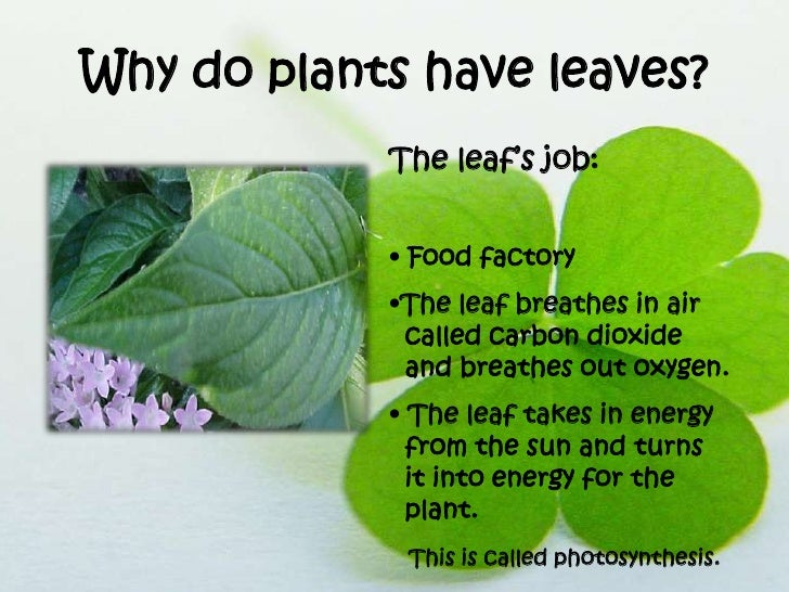 The Job Of Leaf On A Plant