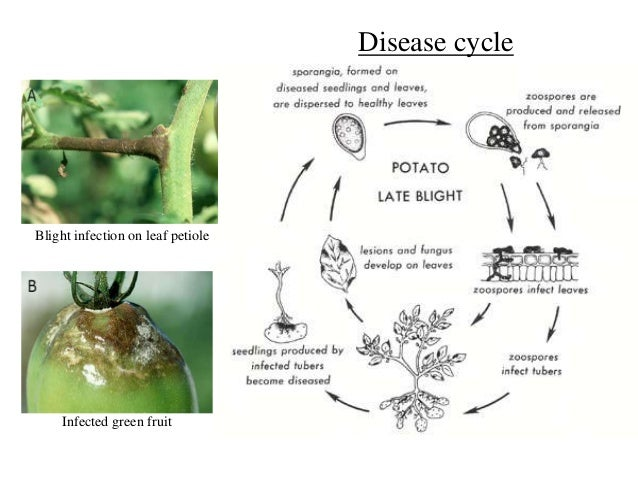 Pathogenesis fungi disease cycle blight infection on leaf thecheapjerseys Gallery