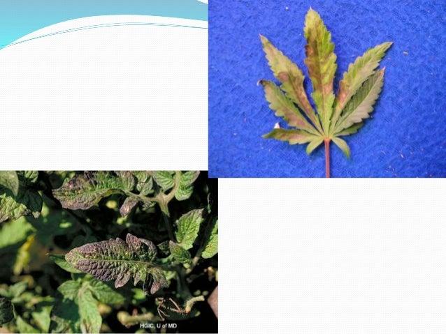 Calcium Toxicity In Plants