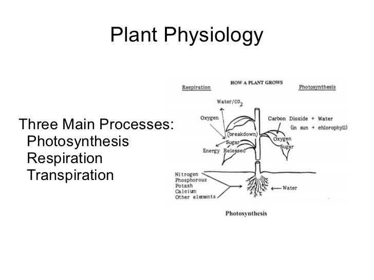 Plant Physiology <ul><li>Three Main Processes: </li><ul><li>Photosynthesis