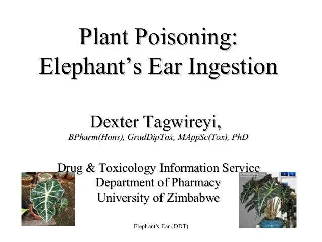 Plant Poisoning Elephant S Ear Ingestion
