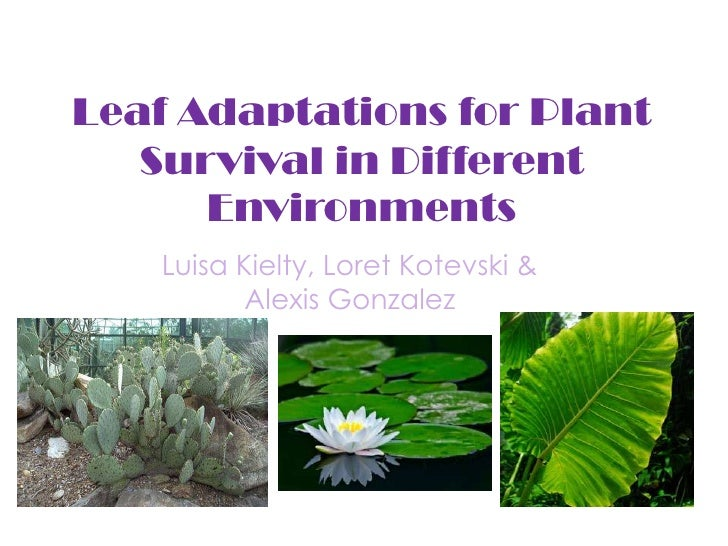 Leaf Adaptations for Plant Survival in Different Environments<br />Luisa , Loret & Alexis <br />