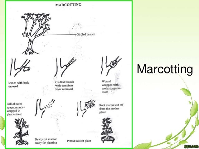 Asexual propagation marcotting fruit