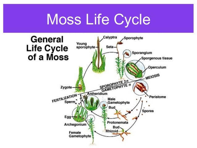 Asexual reproduction in mosses