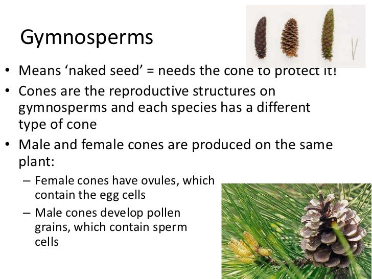 Gymnosperm asexual reproduction of plants