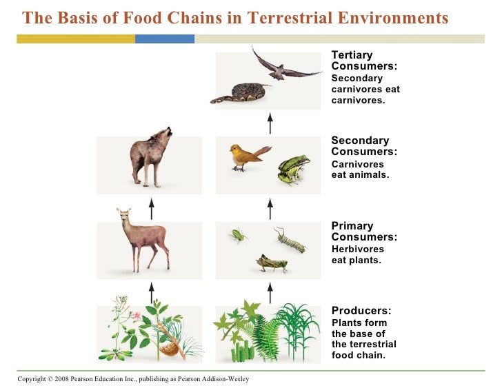 Which Organisms Form The Basis Of Food Chains