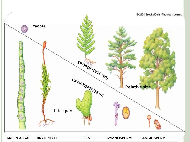 Earland Plant Evolution Trends on Plant Life Cycle Sporophyte