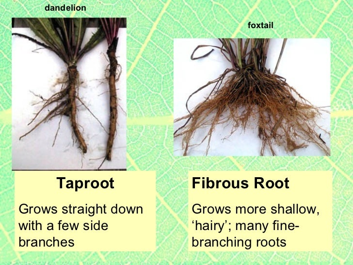 Plants2 plant parts roots & stems, specialized roots, tropisms, incl ... Xylem And Phloem In Plants