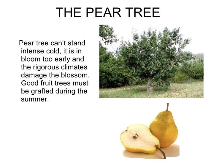 how to grow a pear tree from seed