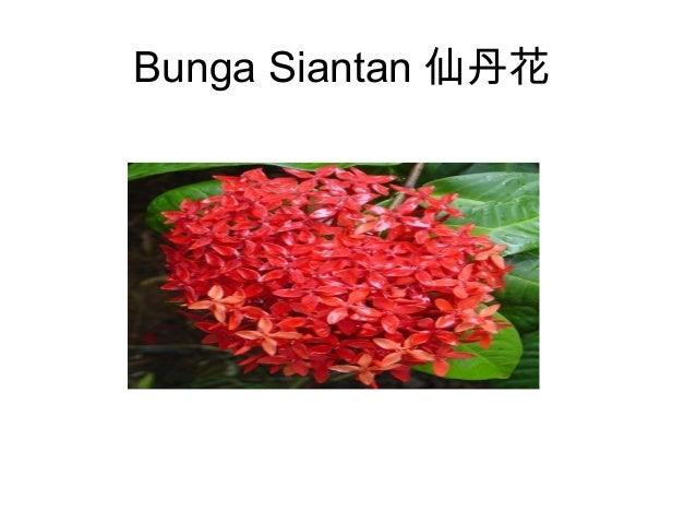Plants around our school bunga siantan ccuart Gallery