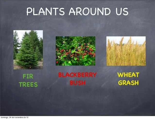 PLANTS AROUND US  FIR TREES  domingo, 24 de noviembre de 13  BLACKBERRY BUSH  WHEAT GRASH