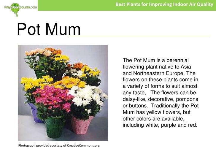 6 - Garden Mum Indoor