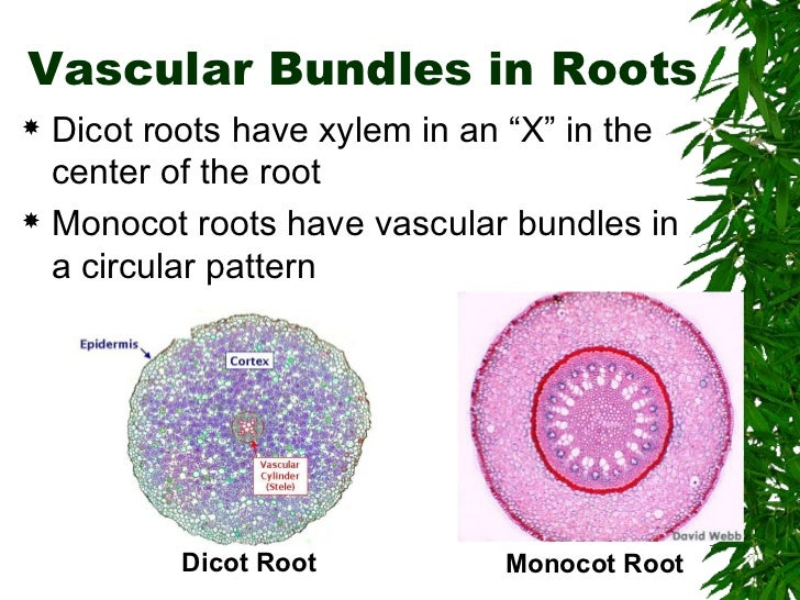 Difference Between Monocot and Dicot Roots
