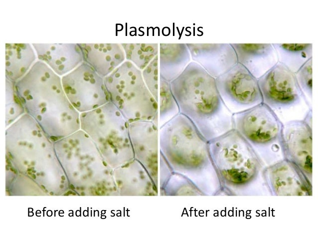 plasmolysis lab Biology, answering the big questions of life/osmosis lab from wikibooks, open books for an open world  in this lab we will observe plasmolysis in red onion cells.