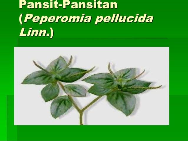 pansit pansitan medicinal uses